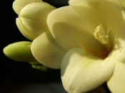 freesia flowers, freesia plant care, freesia plant