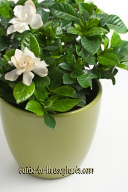 gardenia care, gardenia plant