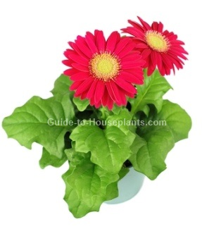 gerbera daisy care, gerbera jamesonii, gerbera flowers,