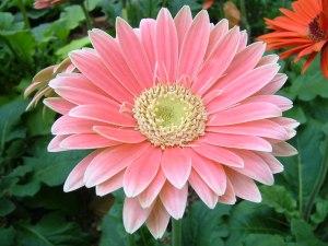 gerbera flowers, gerbera daisy plant, gerbera plant