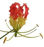 gloriosa lily, glory lily