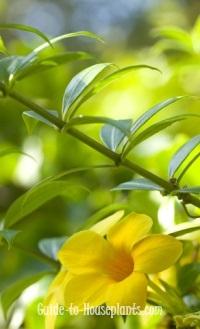 golden trumpet, golden trumpet vine, allamanda cathartica