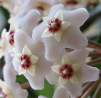wax plant, hoya plant, hoya carnosa, hoya flower