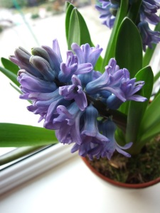 hyacinth flower, forcing hyacinth bulbs, forcing hyacinth