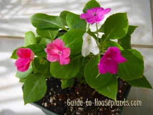 impatiens flowers, growing impatiens, care for impatiens