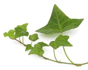 ivy house plants, ivy plant care, growing english ivy, growing ivy