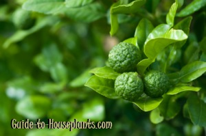 kaffir lime tree, kaffir lime