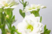 kalanchoe flower, kalanchoe care