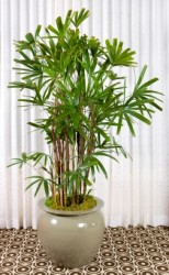 lady palm, rhapis excelsa, tall house plant