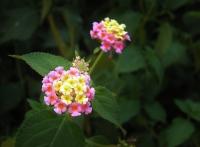 lantana plants, flowers lantana, lantana plant