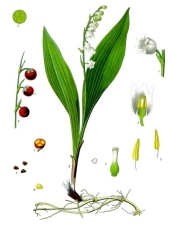 lily of the valley, lily of the valley flowers, lily of the valley plants