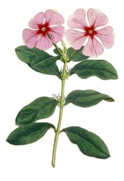 periwinkle flower, periwinkle plant, madagascar periwinkle