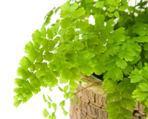 maidenhair fern, types of ferns, indoor ferns