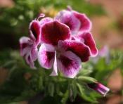 martha washington geranium, regal geranium