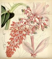 Medinilla Magnifica Tropical Rose Grape Plant Care