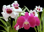 pansy orchid, miltoniopsis orchid, indoor orchids caring for