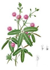 mimosa pudica, sensitive plant