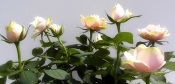 care of miniature roses, care for miniature roses