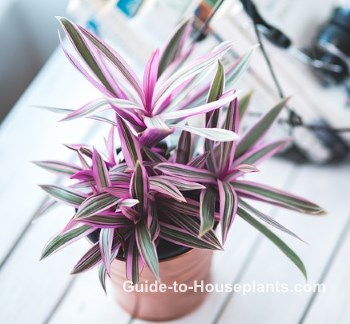 moses in the cradle, moses in the cradle plant, tradescantia spathacea, rhoeo spathacea