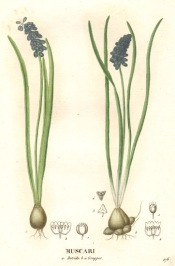 grape hyacinths, muscari botryoides, forcing hyacinth bulbs