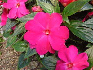 impatiens flowers, new guinea impatiens, growing impatiens, care for impatiens