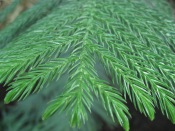 norfolk island pine, norfolk pine tree