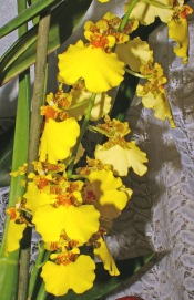 oncidium orchid, indoor orchids caring for