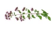 oregano flower, oregano plant