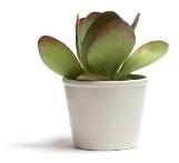 paddle plant, kalanchoe thyrsiflora, succulent house plants