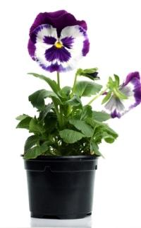 pansy plants, pansies care, growing pansies