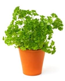 growing parsley, parsley plant