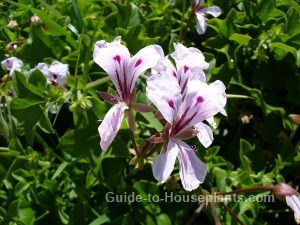 ivy geranium, ivy leaf geranium, climbing geraniums