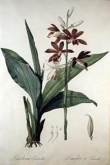 phaius tankervilleae, nun orchid