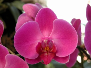 growing orchids indoors, phalaenopsis