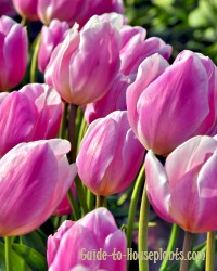flower bulbs, flower bulbs for sale, pink tulips