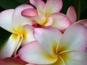 pink frangipani, frangipani pink, fragrant house plants