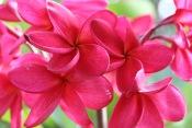 red plumeria, frangipani flowers