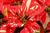 poinsettia care, poinsettia plant