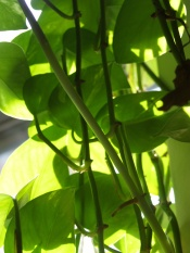 Golden Pothos Plant Devil S Ivy Epipremnum Aureum