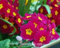 primrose flowers
