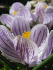 purple flowering plants, flowering bulbs