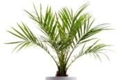 pygmy date palm, phoenix roebelinii, palm house plants