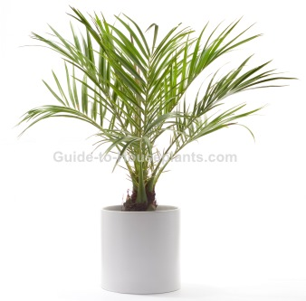 grow light indoor house plant html with Pygmy Date Palm on Houseplants Pictures Cosy Decoration Ideas With Potted Plants furthermore Houseplants That Clean The Air moreover Dracaena Fragrans 1264 besides Money Tree Plant Care further Low Light Houseplants.
