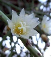 rhipsalis baccifera, mistletoe cactus