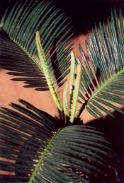 sago palm care, cycas revoluta