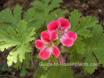 scented geranium, rose scented geranium, geranium flowers, types of geraniums