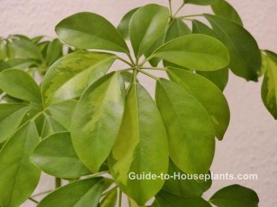 schefflera  schefflera houseplant  schefflera actinophylla