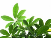 identifying house plants by their leaves schefflera house plantidentifying house plants by leaves - Identifying House Plants By Leaves