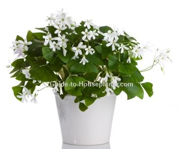 House plants blog - Shamrock houseplant ...