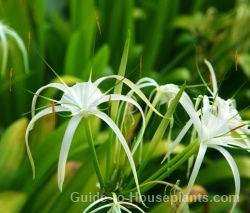 spider lily, tropical flowers